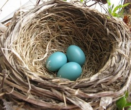 Three Robin's Eggs_60%