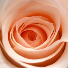 Peach Rose for Endometrial Cancer