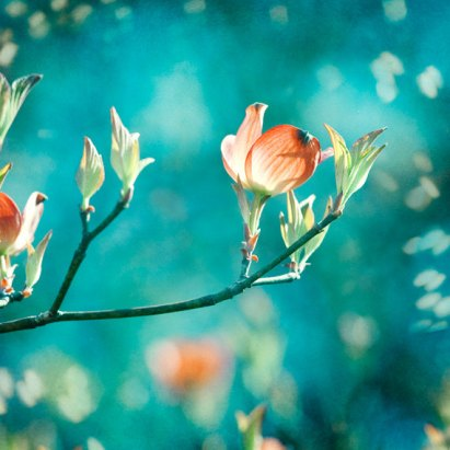 Peach Flowers on Teal Background
