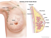 NCI_Anatomy of Female Breast