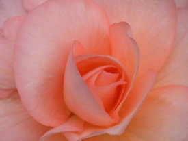 Spring Peach Rose for Hope