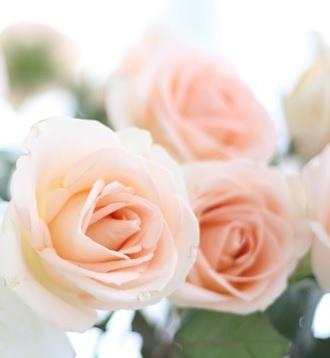 3 Pastel Peach Roses