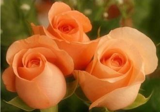 3 Bright Peach Roses